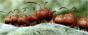 Le s terribles  fourmis  rouges  ennemies