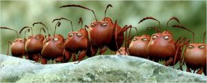 Le s terribles  fourmis  rouges  ennemies